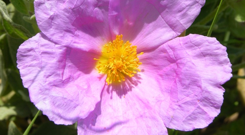 Les flors de Sant Pau, el proper diumenge, a Vilafranca