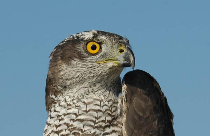 Aquest diumenge s'alliberà un ocell rapinyaire des del mirador de Sant Pau