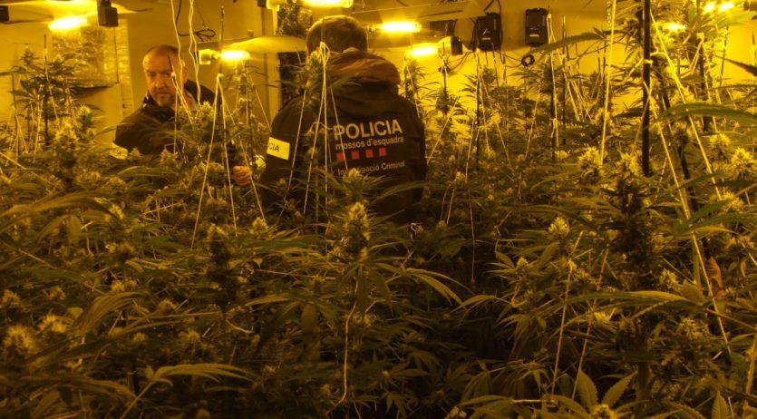 Els Mossos d'Esquadra desmantellen una plantació de marihuana a Mediona