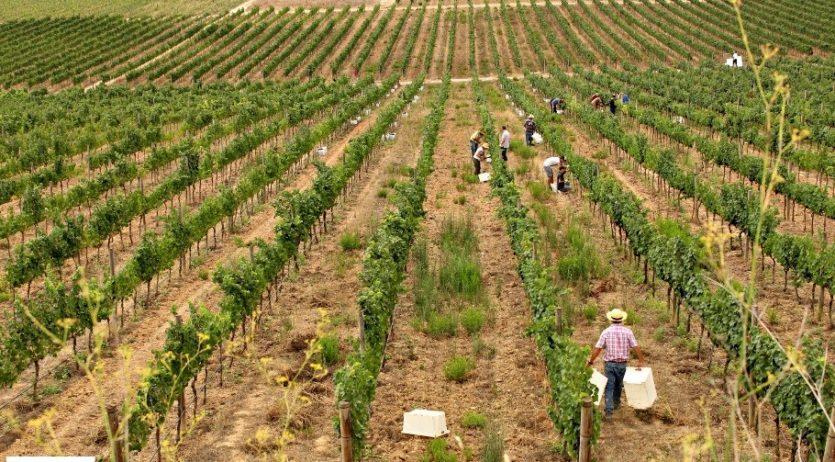 Aquest cap de setmana es pot fer una passejada en època de verema per la capital de la vinya
