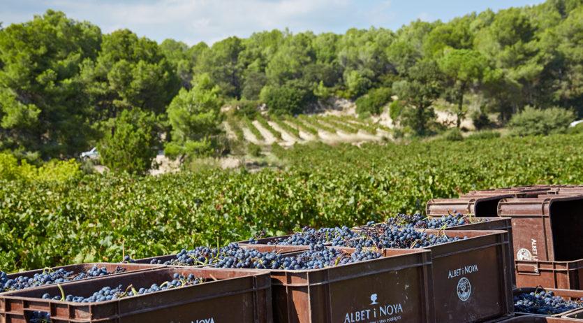 Albet i Noya se suma a la vaga en solidaritat als viticultors del Penedès