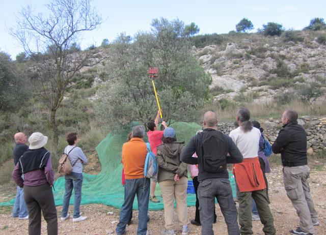 Aquest diumenge es fa una nova edició del taller de collir olives a Sant Pau