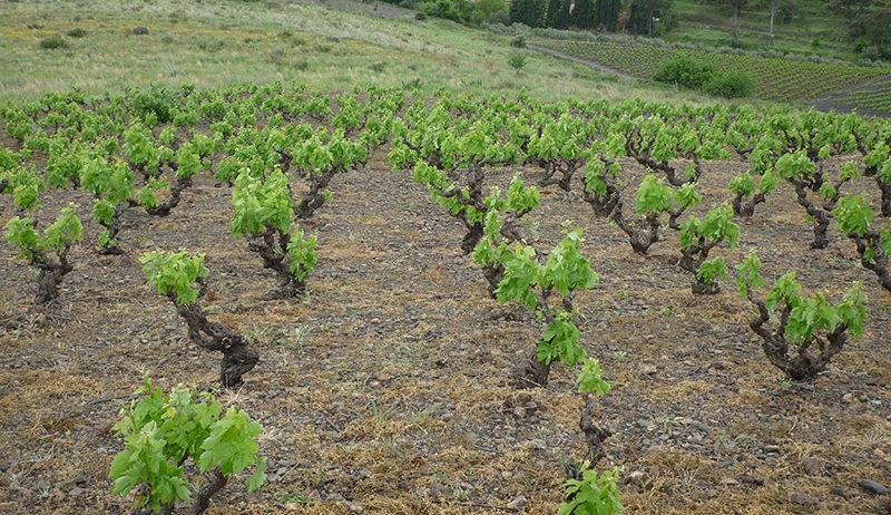 Unió de Pagesos demana habilitar la verema en verd i una destil·lació amb finalitat sanitària