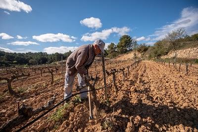 Agricultura convoca ajuts extraordinaris al sector vitivinícola per fer front a la COVID19