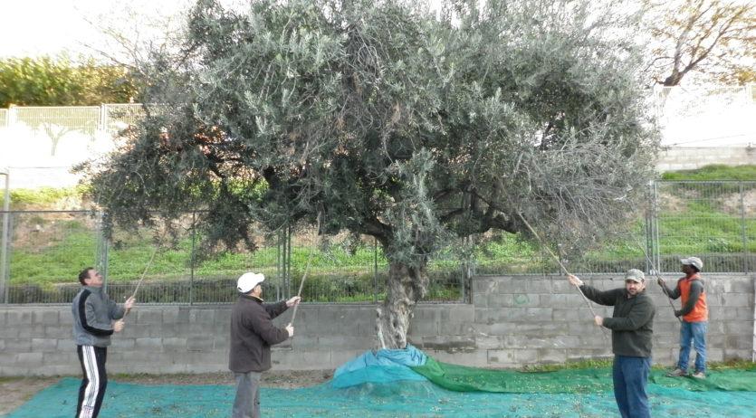 Un any més el 'grup de la terra' de Càritas cull les olives de les oliveres municipals