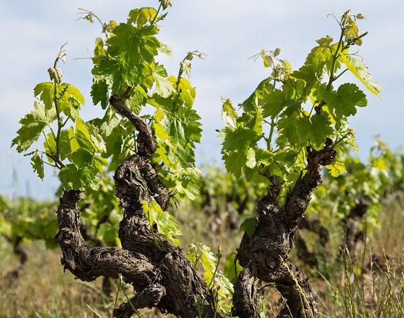 La DO Penedès realitza enquestes a viticultors i cellers pel seu Pla Estratègic 2021-2030