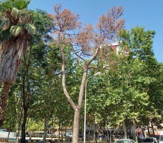 Un pi mort al parc Tívoli serà substituït per dos nous exemplars